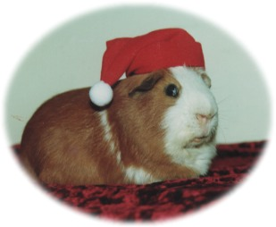 Heaving hiccups in guinea pigs.